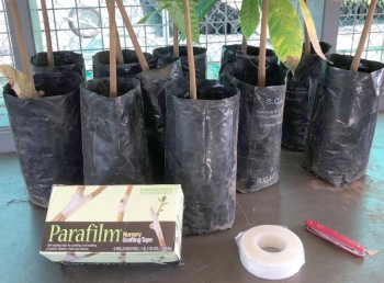 Cocoa seedlings, grafting tools and equipment
