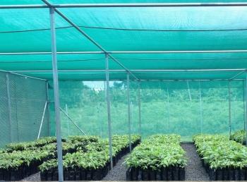 Afia cocoa nursery